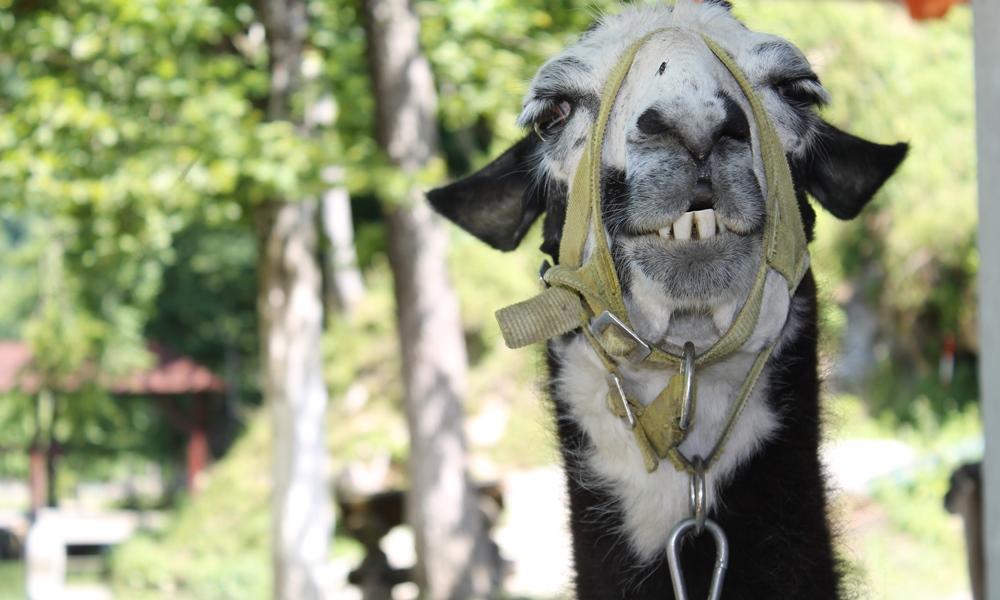 Llama Eat It Tina