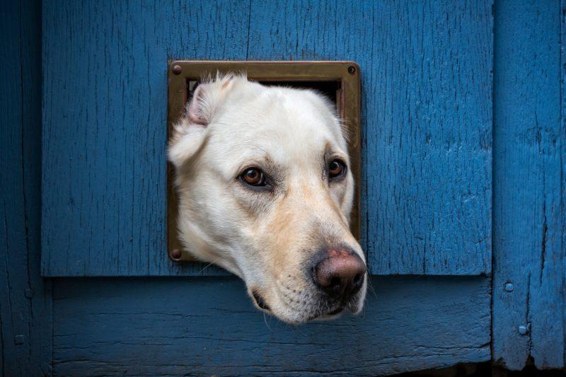 Dog stuck in pet door